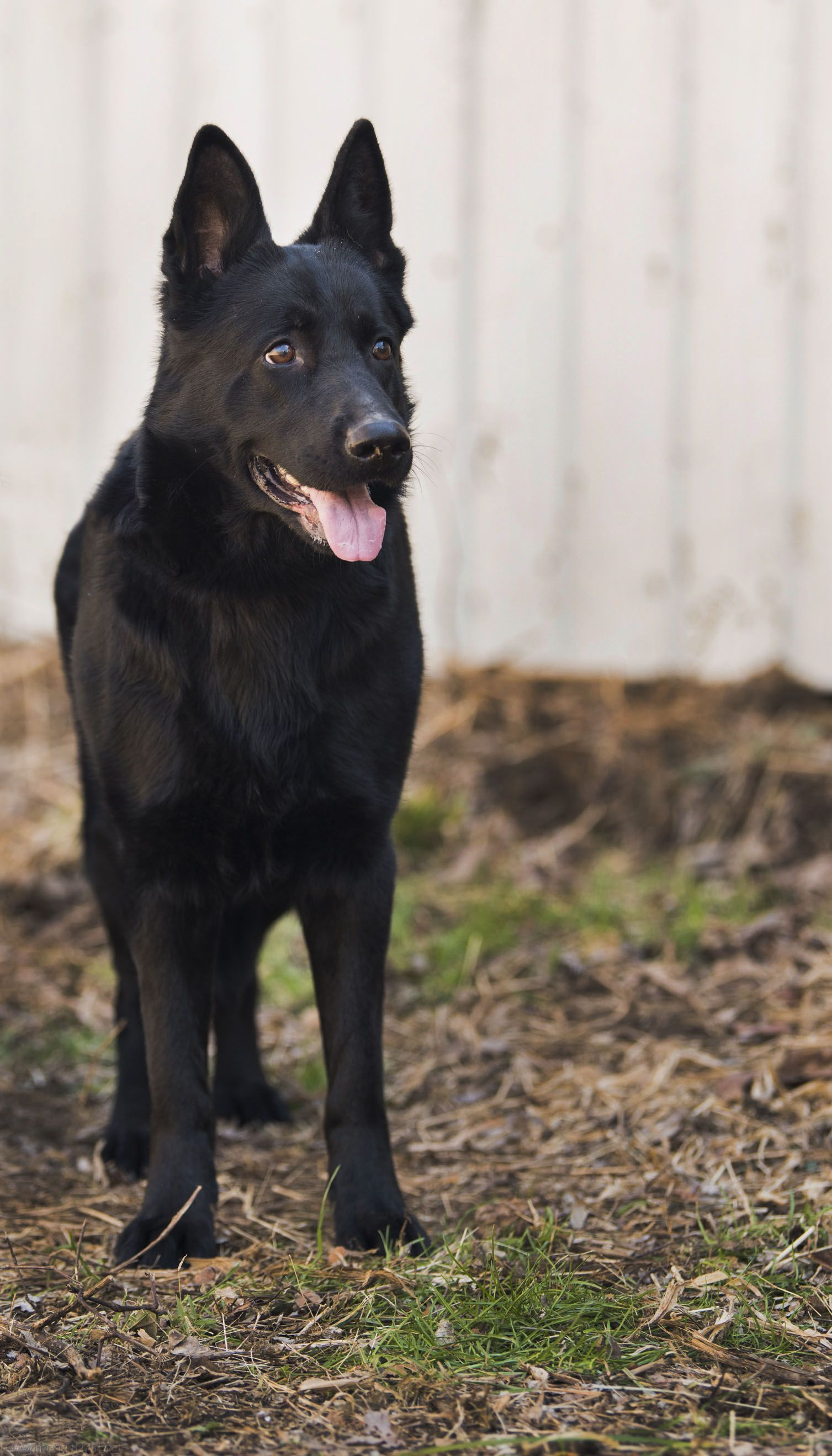Karma Vom Kleinen Hain Goldenhausk9 Com German Shepherd Dogs