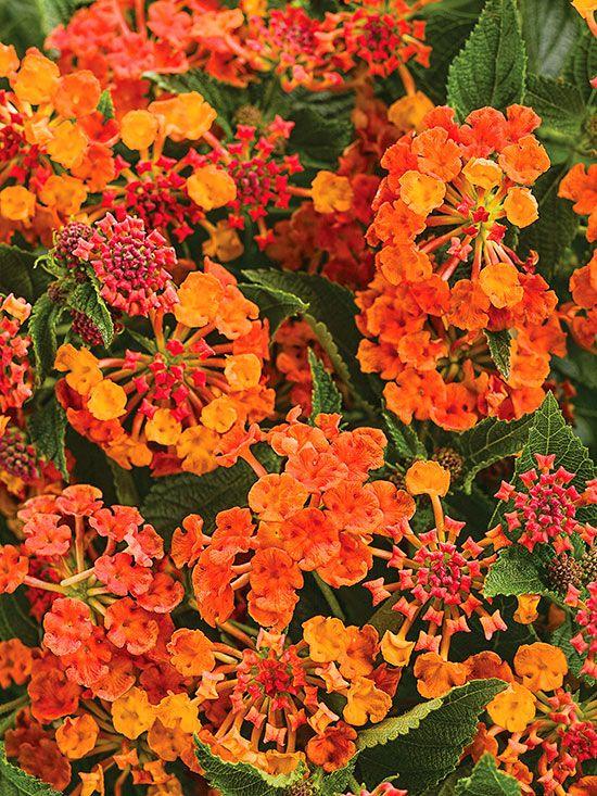 New Annuals For 2015 Lantana Plants Lantana Plant