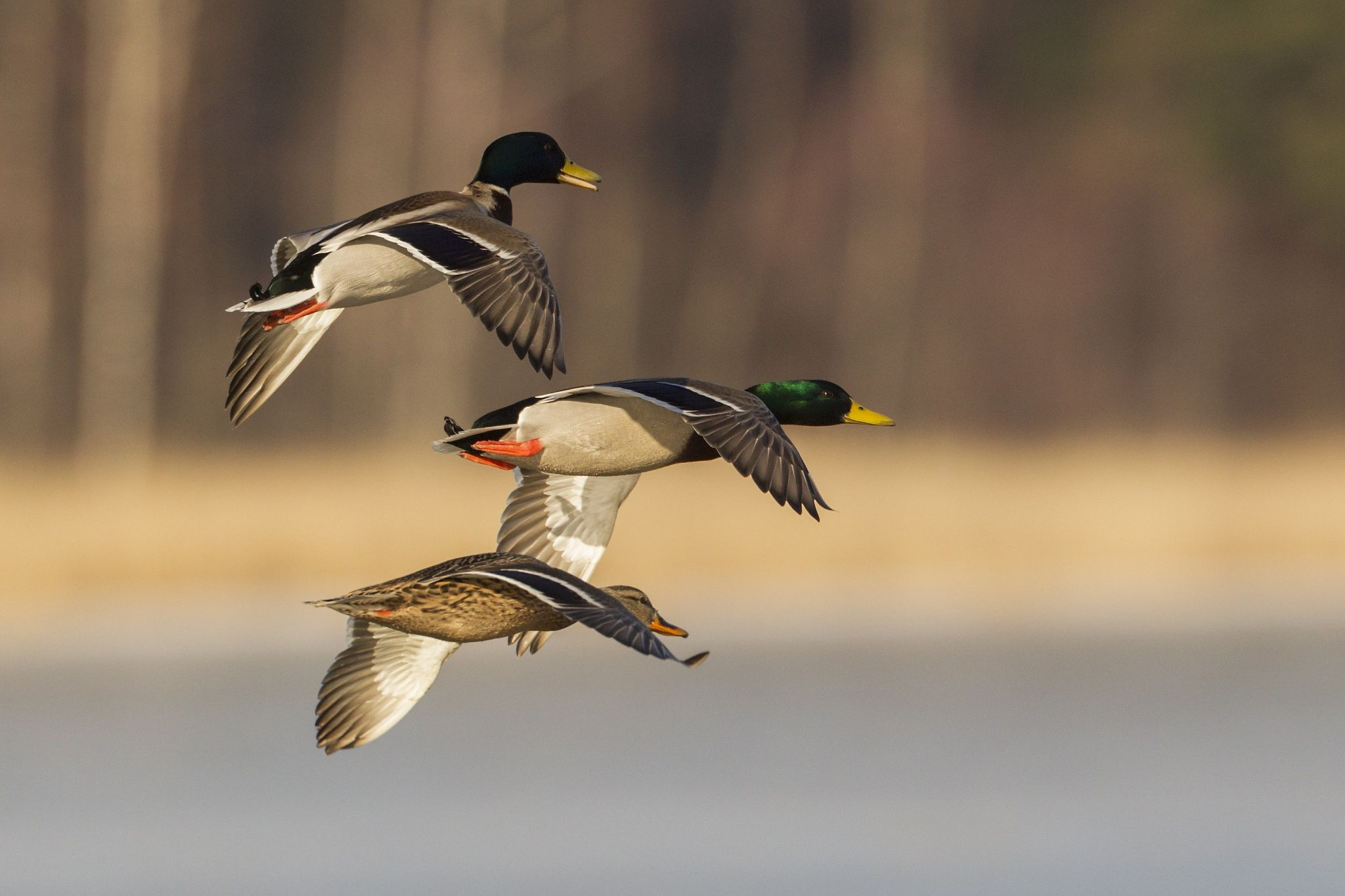 Mallards By Ari Seppa 500px Hunting Backgrounds Waterfowl Taxidermy Duck Hunting Boat