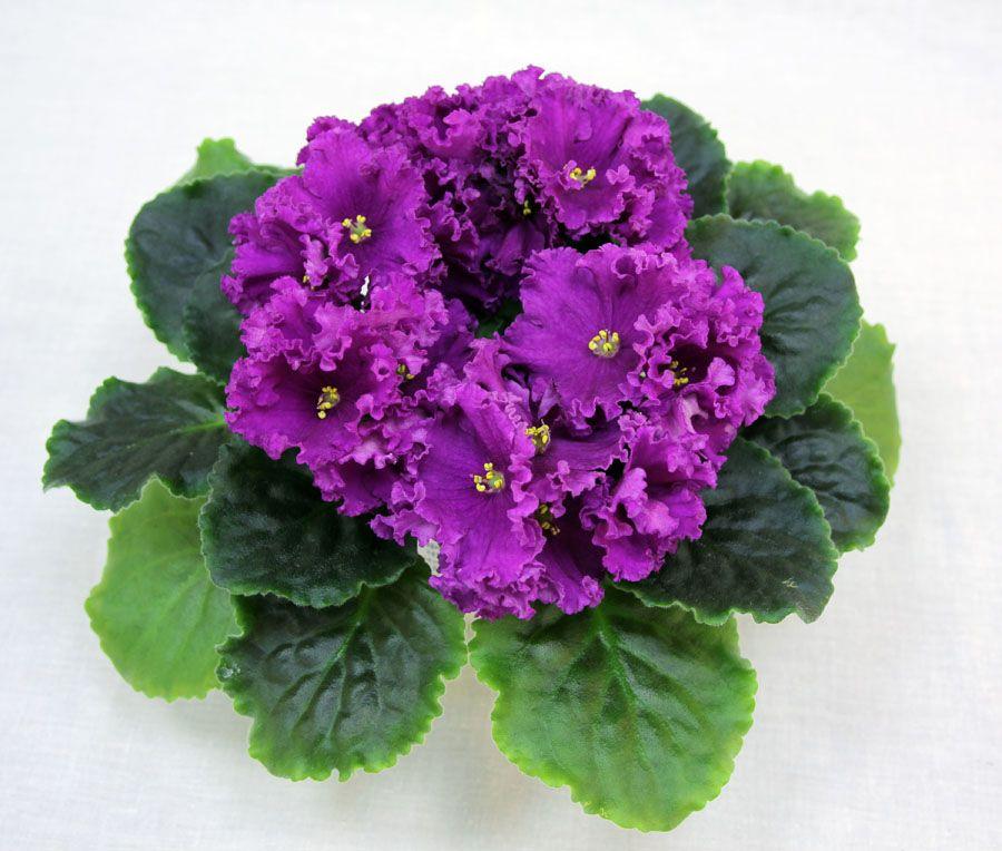 фиалка тирский пурпур фото больше подходит