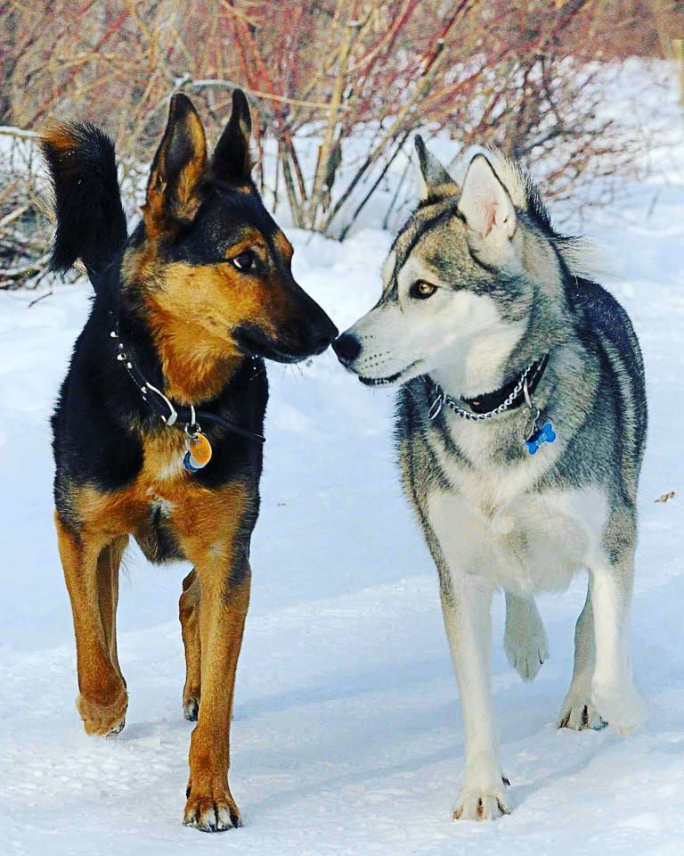 Hgy On Instagram Husky German Shepherd Dogsofinstagram