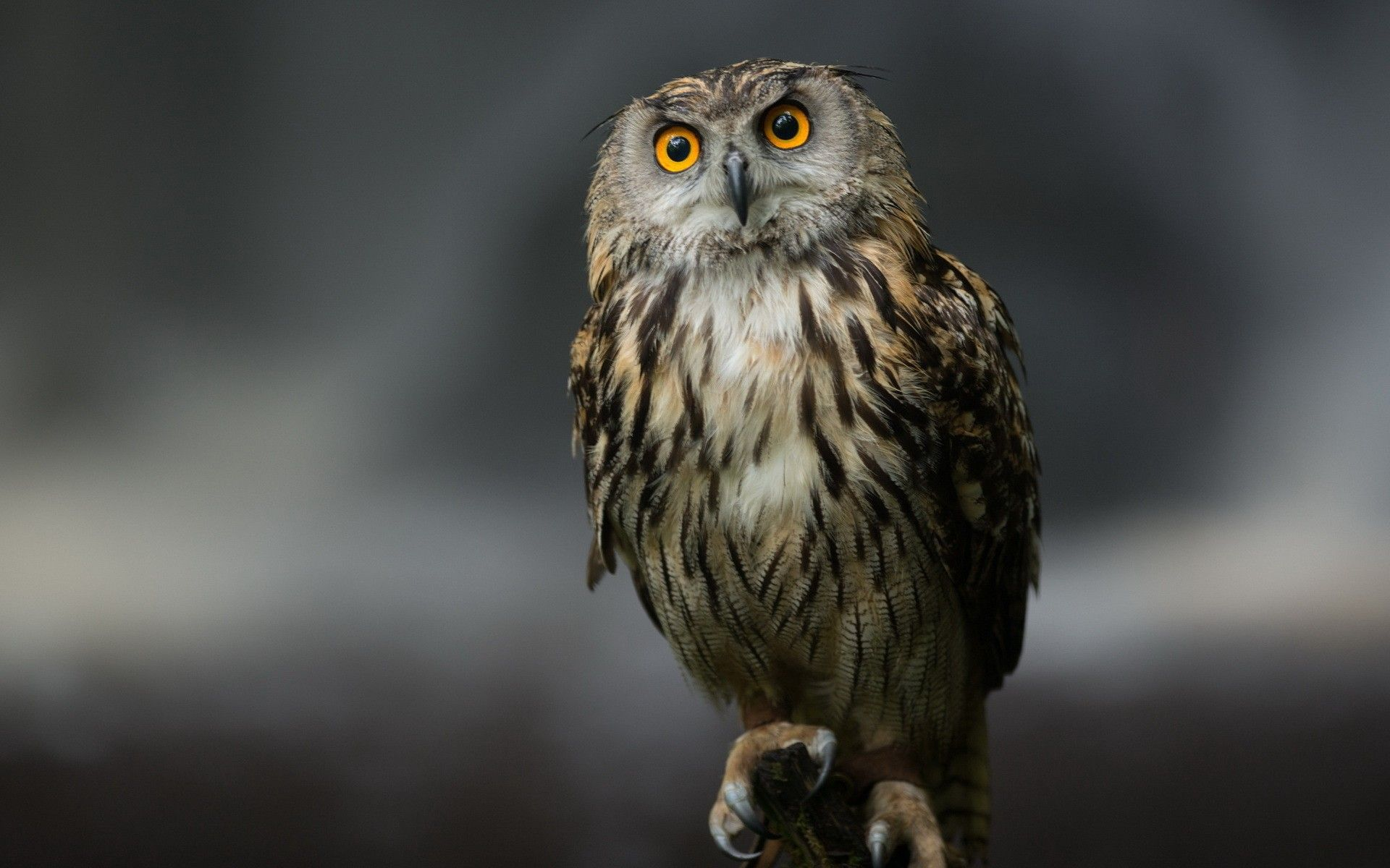 ultra hd owl serious look | ultra hd wallpapers | pinterest | owl