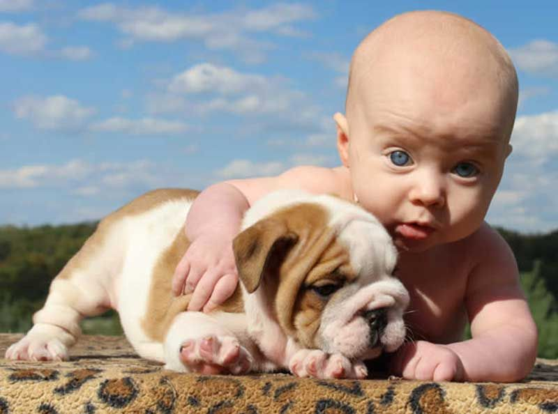 Blue Eyed Baby With White And Brown English Bulldog Puppy