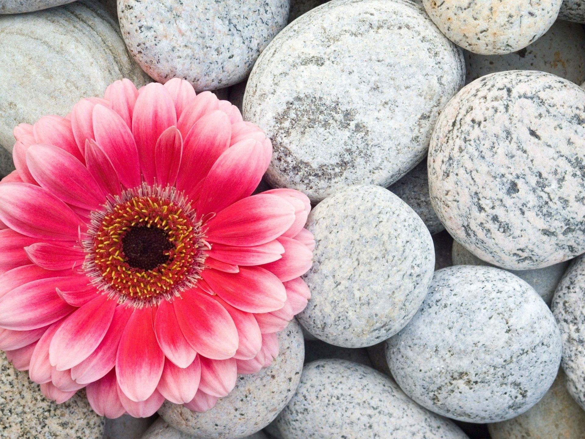 Gerbera Flower Hd Wallpaper 1920x1440 Gerbera Flower Gerbera Pink Gerbera