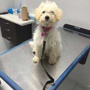 Bichon poo puppy Mississauga / Peel Region Toronto (GTA