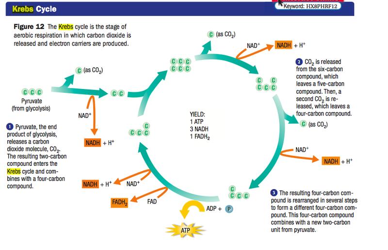 cellular respiration krebs cycle Google Search Krebs