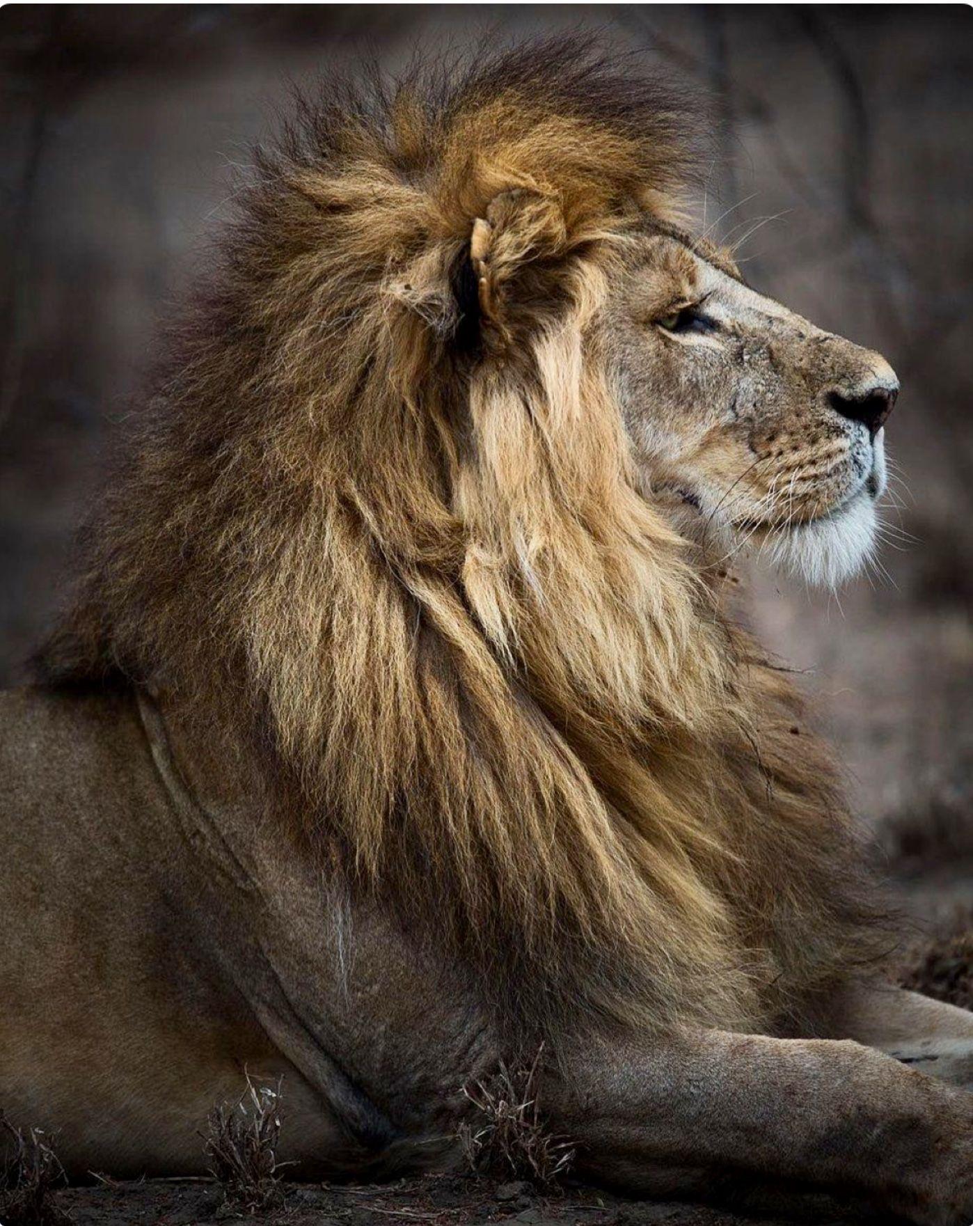 Картинки льва сбоку