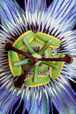 Passion Flower Iphone Wallpaper Mariusz Dabrowski Blog Passion Flower Flower Close Up Amazing Flowers