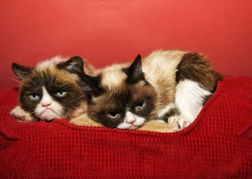 Tard is beside herself! (The Official Grumpy Cat™ Tumblr)
