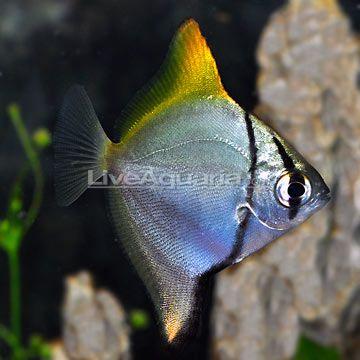 mono argentus marine fish and invertebrates pinterest aquarium