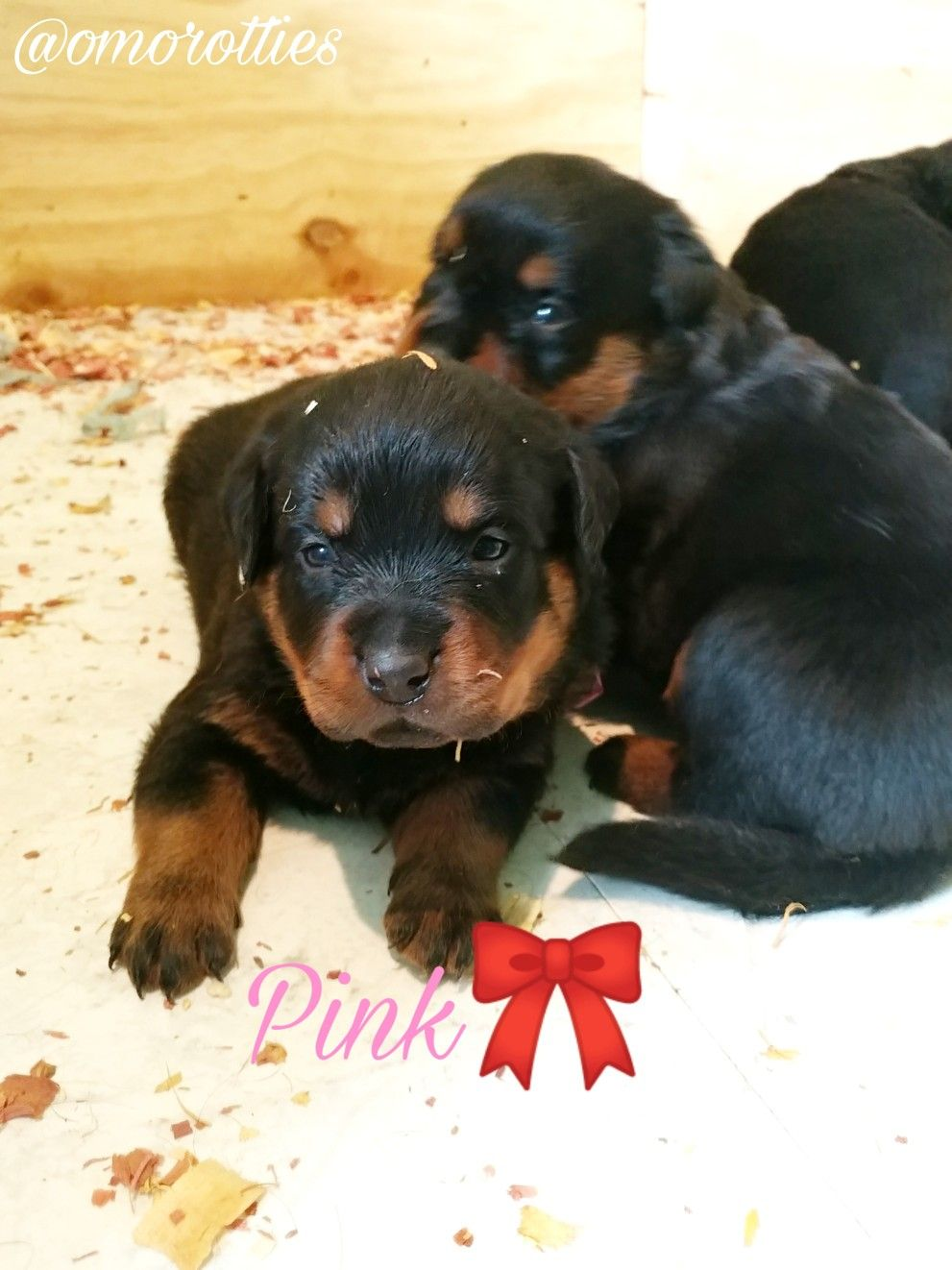 Rottweiler Puppies For Sale Now In 2020 Rottweiler Puppies
