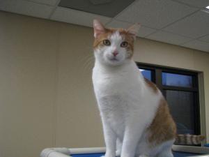 Adopt Jacob On Orange White Cat Short Hair Cats Pets