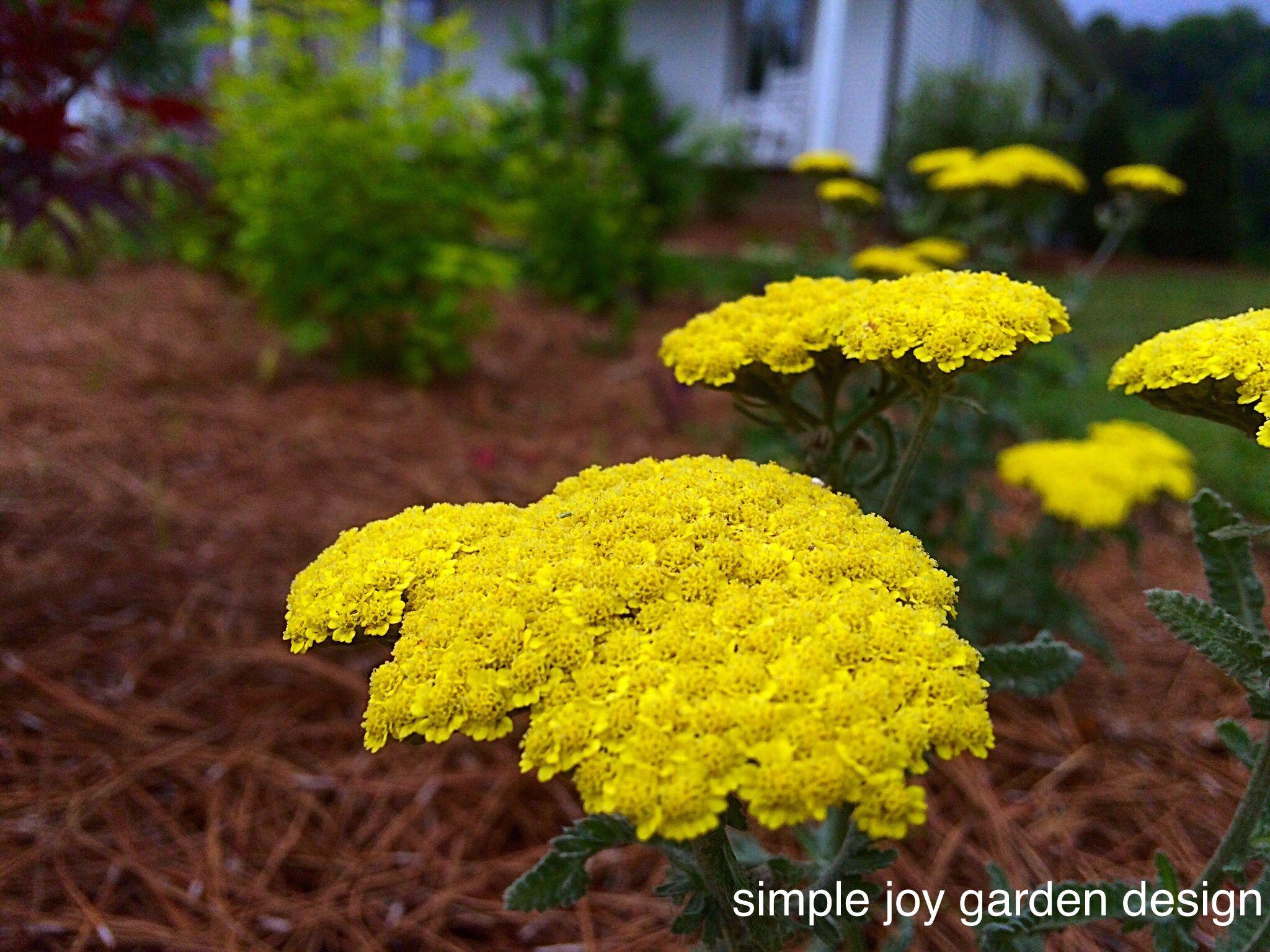 Achillea X Moonshine Simple Joy Garden Design Garden Design