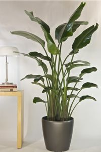 List of tall floor plants...this one is Bird of Paradise...great way ...