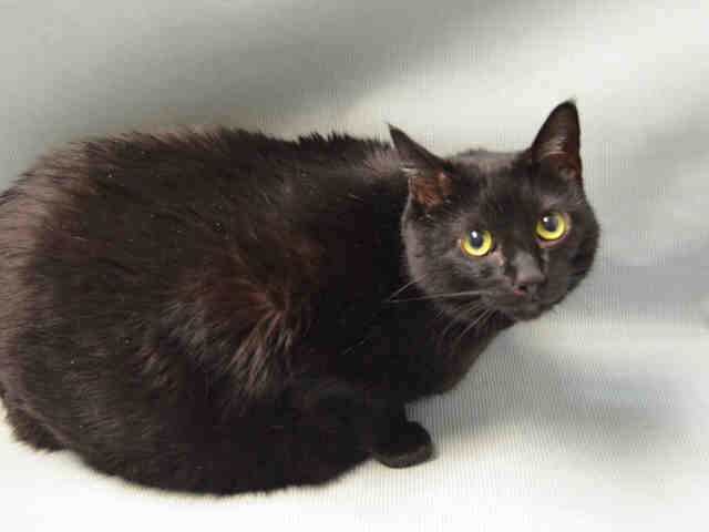 LILA - A1096378 - - Brooklyn  Please Share:*** TO BE DESTROYED 11/19/16 *** -  Click for info & Current Status: http://nyccats.urgentpodr.org/lila-a1096378/