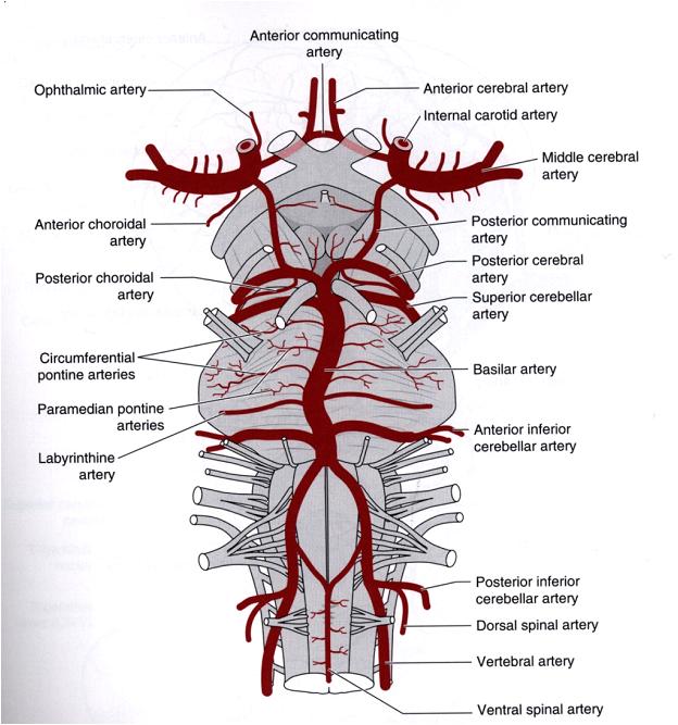 Somatic Senses Education: Entral Nervous System(CNS) -Blood Supply