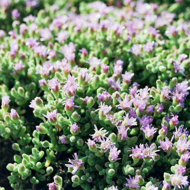 Drosanthemum luederitzii
