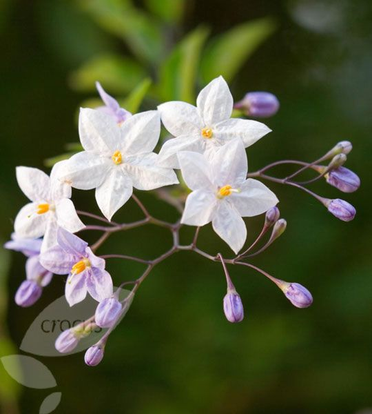 solanum laxum 39 album 39 white climber jasmine scented. Black Bedroom Furniture Sets. Home Design Ideas