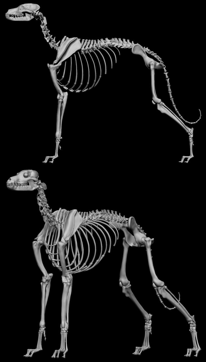 anatomy greyhound - Αναζήτηση Google   muscle   Pinterest   Hunde ...