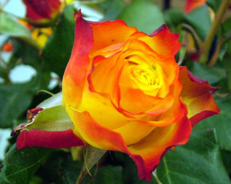 Tequila Sunrise Rose.