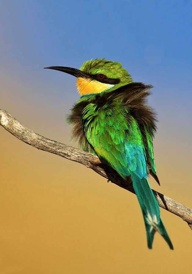 Swallow-Tailed Bee-Eater by Hendri Venter.