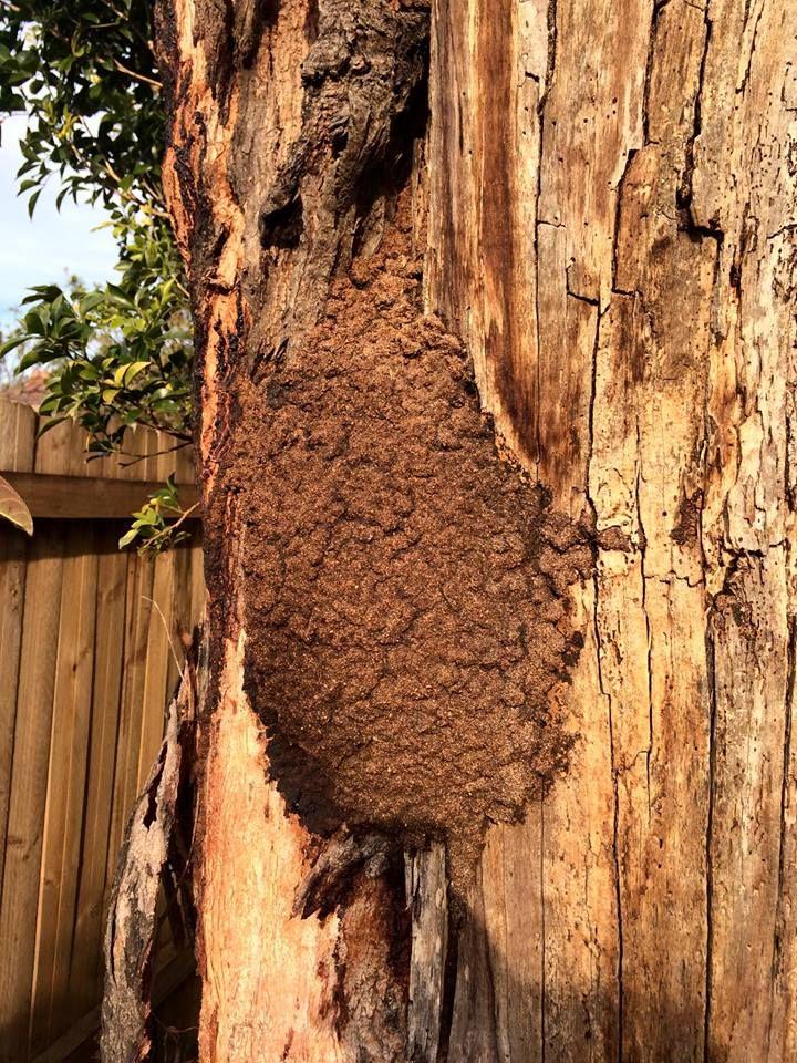 Termite Nest In A Tree Tree Pest Control Termites
