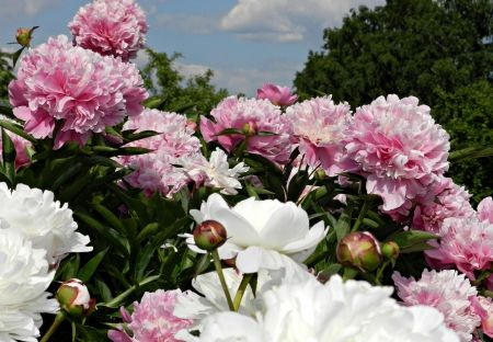 Beautiful peonies hd wallpapers wallpapers for desktop android beautiful peonies hd wallpapers wallpapers for desktop android iphonenature wallpapers voltagebd Choice Image