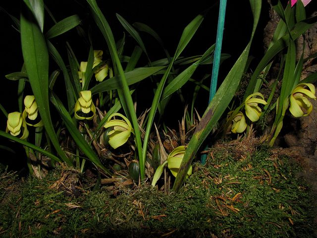 Maxillaria porphyrostele