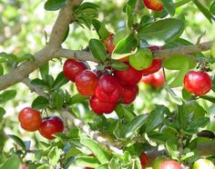Acerola is a type of cherry and is indigenous to tropical rainforests.