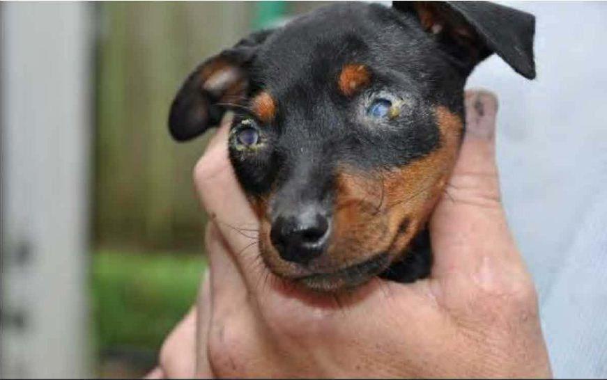 Miniature Pinscher puppy breeders No pet store puppies