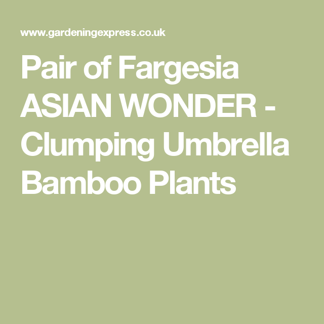 Pair Of Fargesia Asian Wonder A Form Clumping Umbrella Bamboo Plant With Narrow Leaves Remain Green Throughout The Year And Vertical Upright Habit