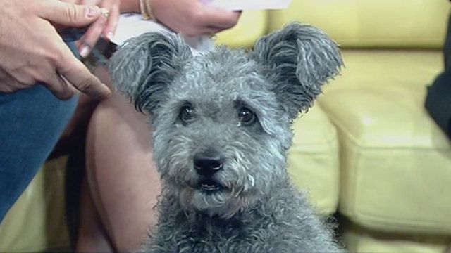 Pumi added to AKC Pumi dog, Cute dogs, Dogs