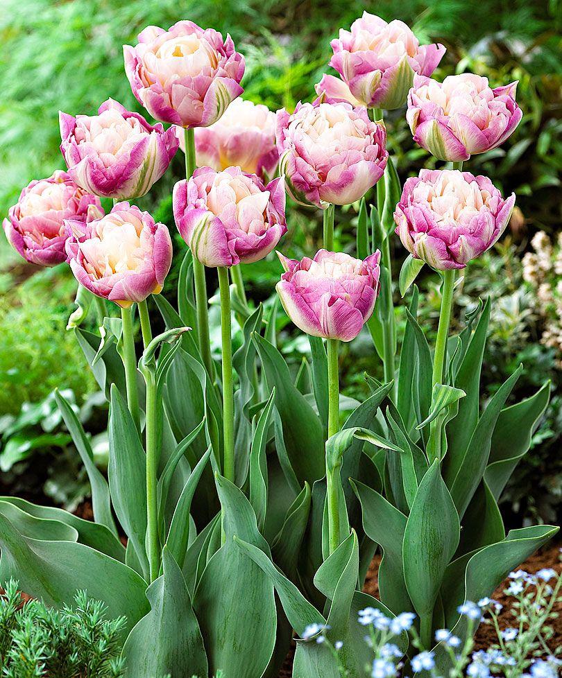 Tulip 'Sweet Desire'