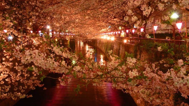 Yozakura Nighttime Cherry Blossom Viewing Tokyo Cheapo Japan Spring Cherry Blossom Tokyo Night