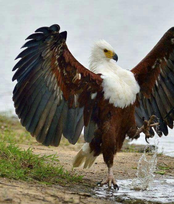 Weißkopfadler von Barbara Rathmanner auf Vögel Tiere
