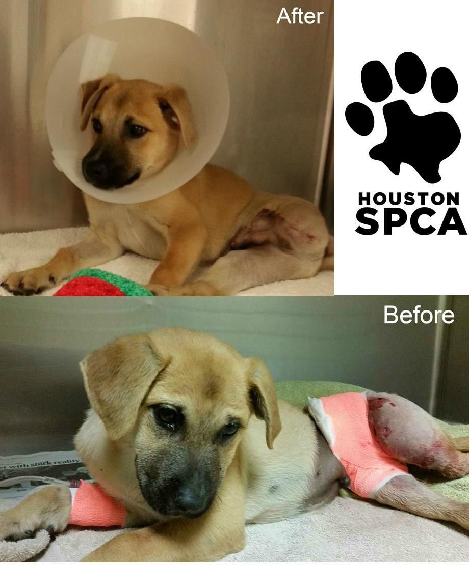 What A Difference A Week Makes This 3 Month Old Shepherd Mix Puppy Arrived Last Week By Ambulance In Serious Shepherd Mix Puppies Veterinary Care Broken Bone
