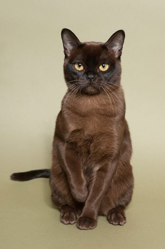 The Burmese Cat Kittens First Came To America In 1930 When Dr