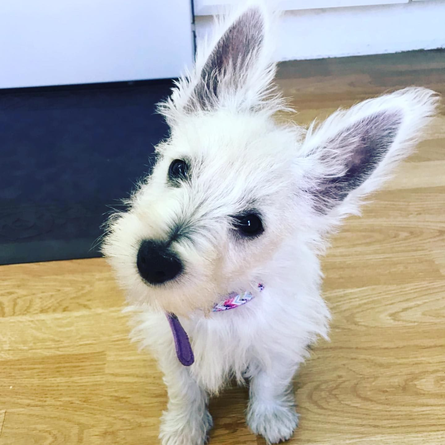 Besties Want Your Forever Love Puppy To Be Featured On Our Page Send Us Pictures Westie Puppylove Puppylife Westiesa In 2020 Puppies Westies Puppy Love