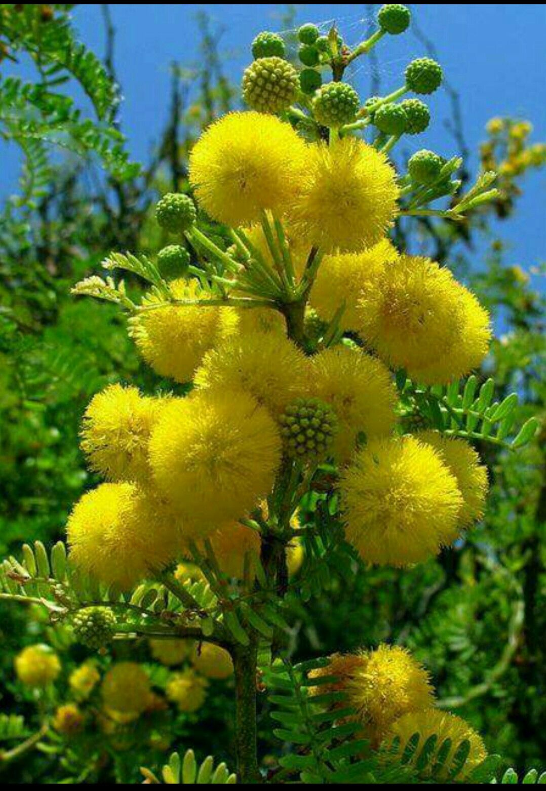 Acacia Flowers Beautiful Flowers Yellow Flowers Flower Garden