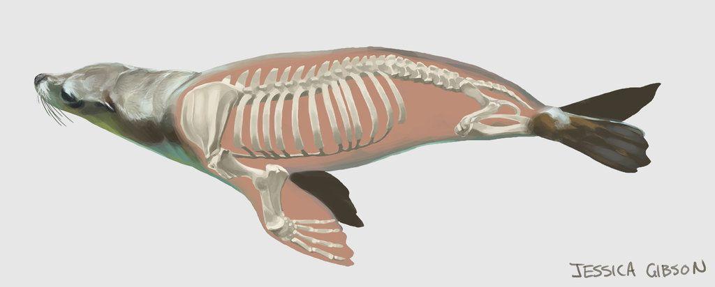 Sealion Anatomy by Servaline.deviantart.com on @DeviantArt | Bones ...