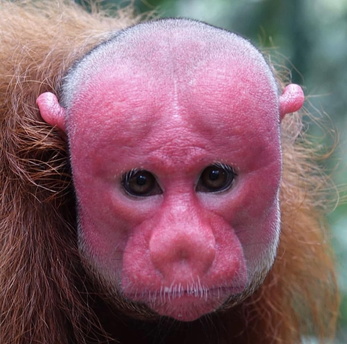 This Red Faced Monkey Animals Monkey Red