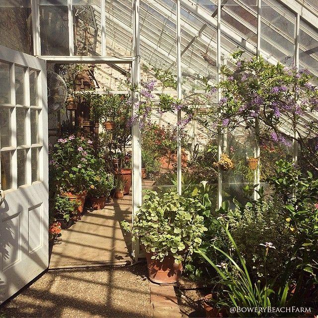 One of the amazing Lyman Greenhouses! And conveniently right on the way to IKEA. #lymangreenhouse #lymanmass #lymanestate #greenhouse #greenhouselove #growing #vintage #old #shabby #antique #garden #gardens #gardener #gardening #love #farm #flowers #floral #flower #historic #historicgardens #cottagegarden #botanicals #blooms #botanicalgardens #pelargonium #scentedgeranium #jasmine #spring by bowerybeachfarm