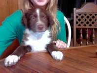 Border Collie Puppie - Dogs - Pets and Livestock - Provo - For Sale