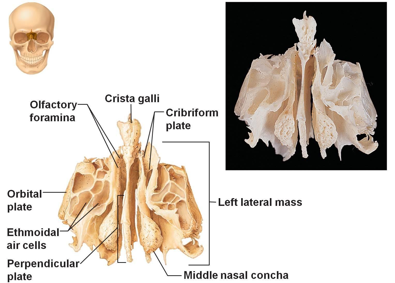 Ethmoid Bone | Anatomy 58 | Pinterest | Phlebotomy
