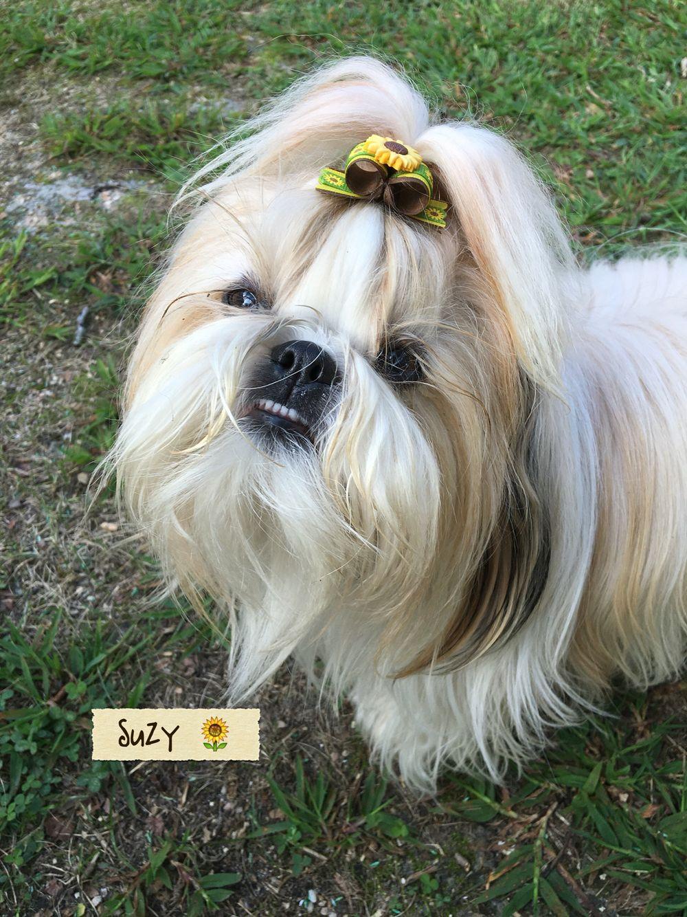 Cutest Little Teeth Shih Tzu Puppy Cute Dogs Shih Tzu
