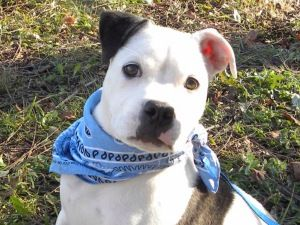 Jag is an adoptable Boxer Dog in Princeton, KY. Jag is a four month old male Boxer mix who was left outside the shelter after hours. He had to spend the night all by himself in a cold, lonely cage w...