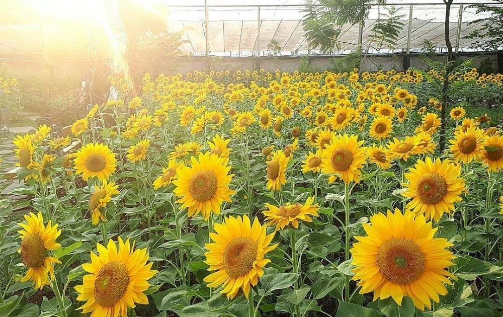 Gambar Pemandangan Alam Taman Bunga Ada Fakta Yang Menakjuban Mengenai Gambar Pemandangan Yang Disaseandainyan Diatas Objek Datar B Di 2020 Pemandangan Bunga Gambar