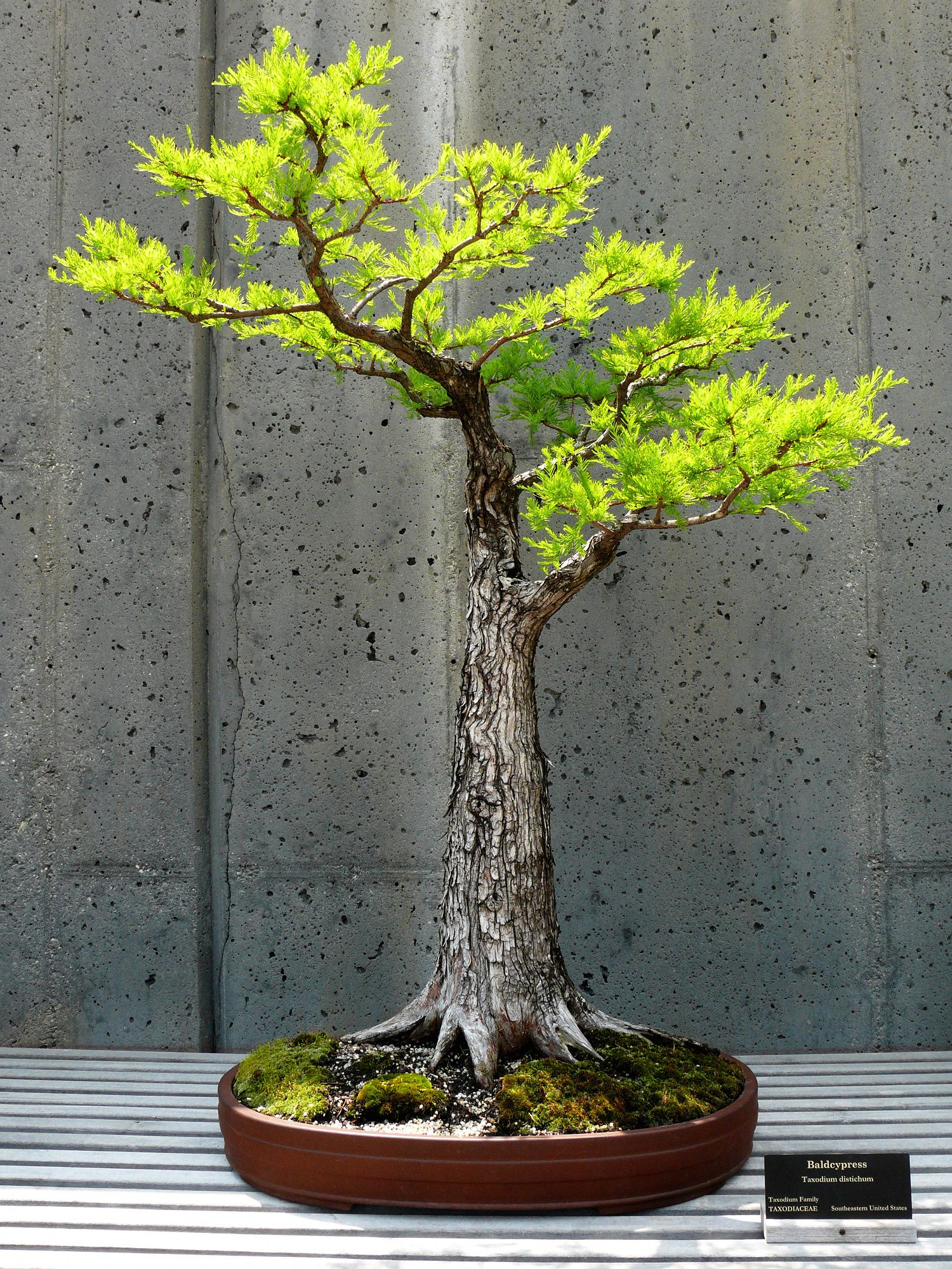 Taxodium Distichum Bald Cypress Pohon Bonsai Bonsai Tanaman Pot