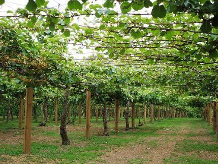 Is It A Vine A Tree Or A Bush Fruit Plants Berry Garden Kiwi Fruit