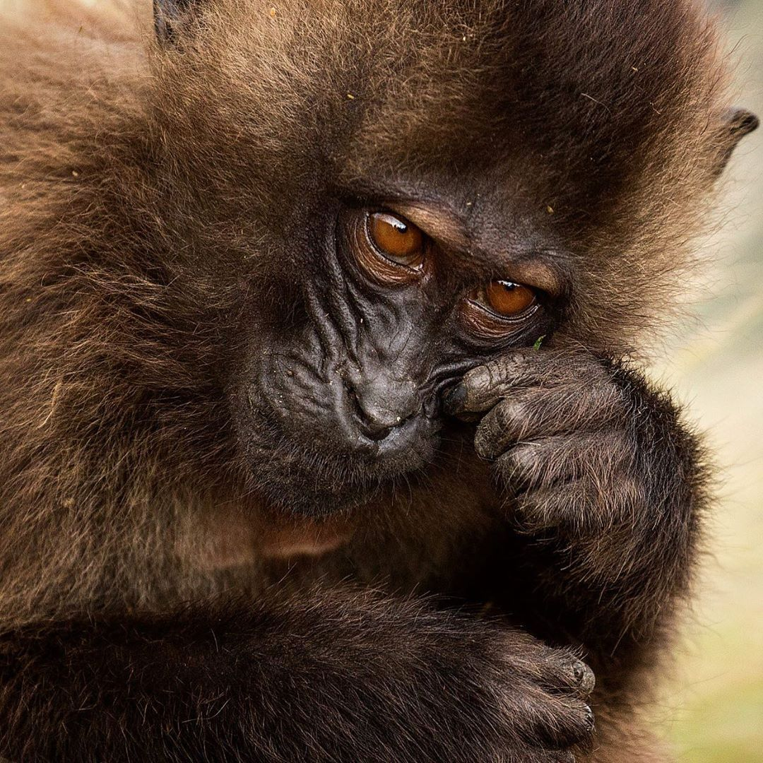 Nat Geo Wild On Instagram Photo Filipe Deandrade Gelada Monkeys Are An Endemic Species Of Primates To Ethiopia Their Vocal Cords Are Closely Related To H
